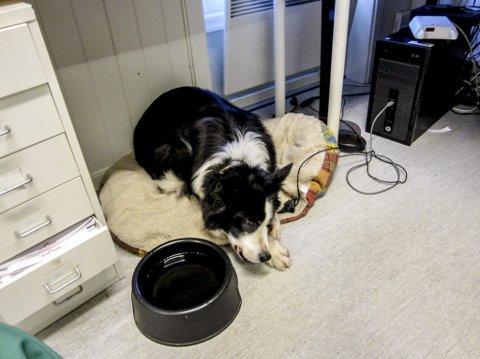 Skadet: Hunden har falt til ro på Vestmar Dyreklinikk i Sannidal.