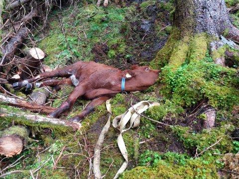 Her er kua då den vart tatt ut av skogen. (Foto: privat)