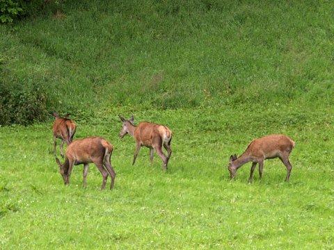 Hjorten likar å trø i graset som er dyrka av lokale bønder.