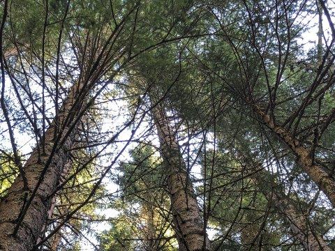Skog: Når område med slike tre vert felt, skal det plantast nytt. Arkivfoto: Mette Bleken