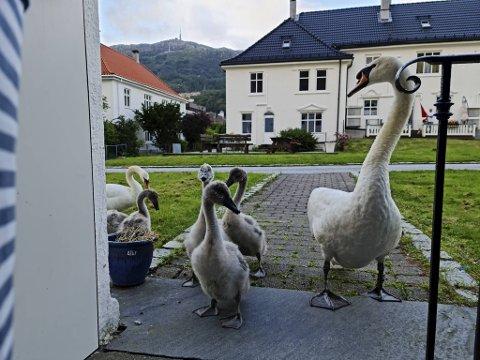 Her hilser ni svaner på beboerne i nabolaget i Svaneviksveien