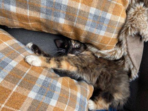 PUS: Kjenner du igjen denne kattungen? Tore Frugård fann den på ferjekaien på Årsnes, og hadde ikkje hjarte til å la den vesle hokatten bli igjen der åleine. Han vil gjerne ha kontakt med ho eller han som eig kattungen, viss katten har ein eigar.