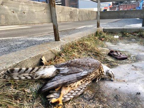 DØD: Fuglen lå delvis fastfrosset i isen. Fuglen hadde ingen synlige skader.