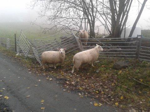 Mattilsynet har siden de overtok saken om gården i Sandsvær fått mange bekymringsmeldinger om dyreholdet, blant annet fra Dyrebeskyttelsen.