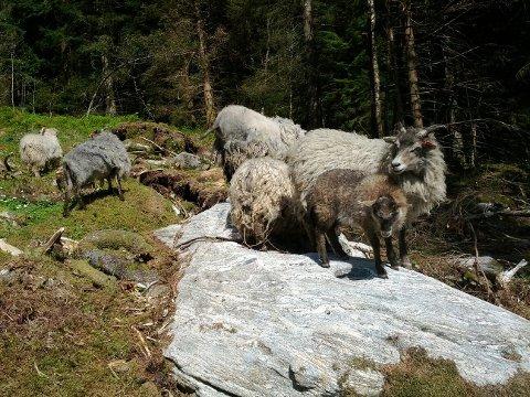 SAVNET: fire søyer og åtte lam er savnet fra hotellet Søstrene Storaas.