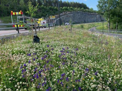 BLOMSTERENG: Mange insekter er nok godt fornøyd med denne blomsterenga, utenfor Kongsbergtunnelen på Gomsrud-siden.