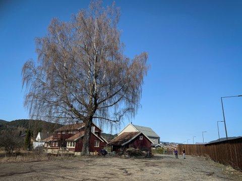 DIGERT TRE: Naboer til denne bjørka vil bevare den. Utbygger på tomta har alle rettigheter til å fjerne den.