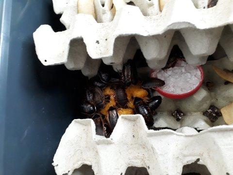 KOLONI: Kakerlakkene bor inni melkekartonger og må ha over 30 grader for å formere seg.