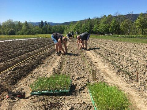 Utplanting: Vårløk og purre plantes ut på jordet.