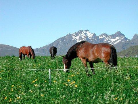 HEST: Lofoten Hest og Helse har innført nye regler etter episoden i en annen stall sist lørdag. Ill.foto