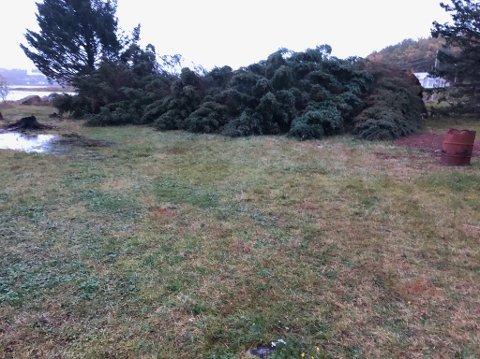 Røsket opp: Uværet røsket opp åtte grantrær med røttene på Ørsnes.