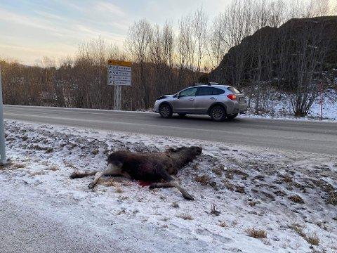 Påkjørt: Elgen ble påkjørt på E10 ved Kabelvåg søndag 31. januar.