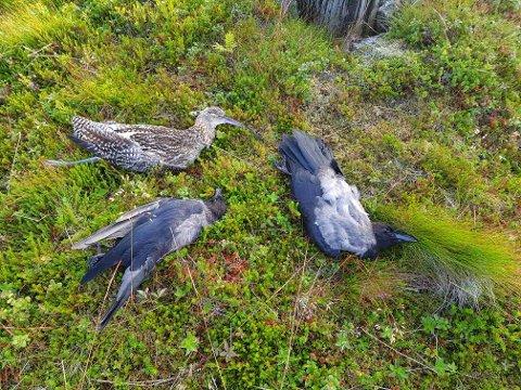 DØD: Disse fuglene mistet livet i møtet med høyspenten.