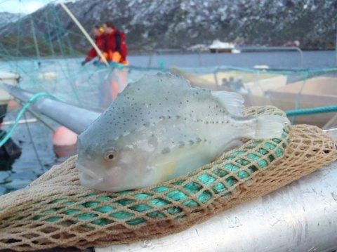 ROGNKJEKS: Arctic Cleanerfish på Steine produserer rognkjeks som brukes til å ta knekken på lakselus i oppdrettsnæringen.