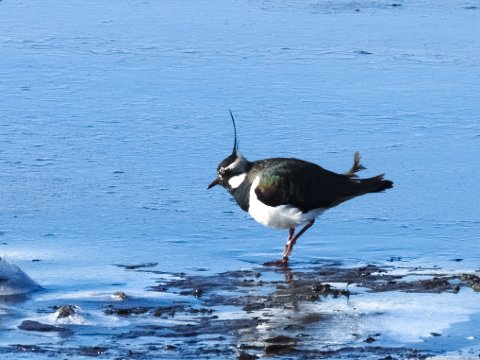 Vipe, her sett i Leknesfjæra.  Fuglearten er sterkt truet.