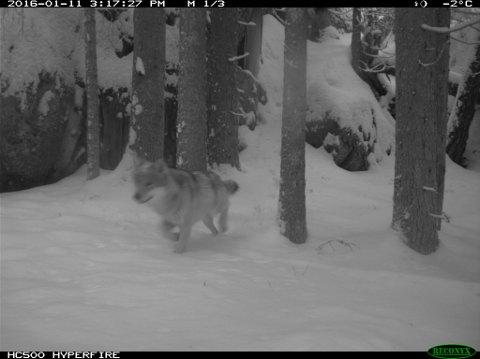 I DISTRIKTET: Dette bildet av en av Hobøl-ulvene ble tatt i januar i fjor. Nå anbefaler rådmannen i Våler kommune å gå inn for lisensjakt.