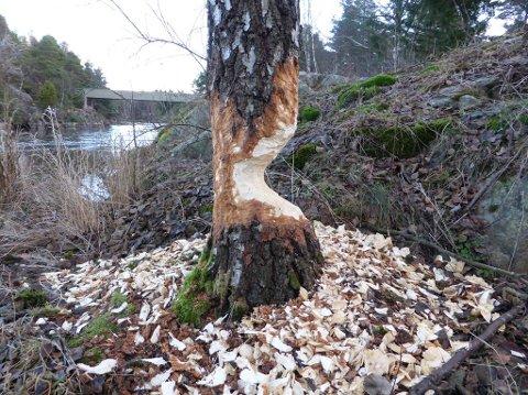 GJØR SKADE: Bever har gjort stor skade på dette treet.