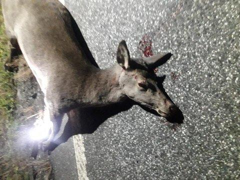 PÅKJØRT: Ei stor hjortehind ble påkjørt sent søndag kveld i Våler. Bilføreren ble ikke skadet.