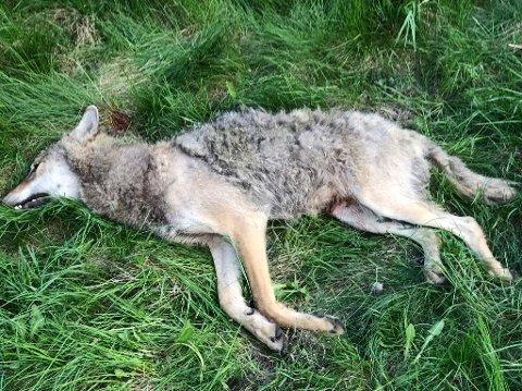 HARDT SKADET: Ulven ble avlivet på stedet.