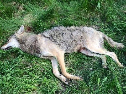 PÅKJØRT: Ulven som ble påkjørt på E6 ved Patterød i Moss 17. mai kom fra Sverige.
