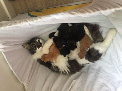 NY AMMEMOR: Kattungene ble koblet samme med den nye moren. Ørjan ligger på puppen, mens Ørnulf sliter litt med å finne frem.