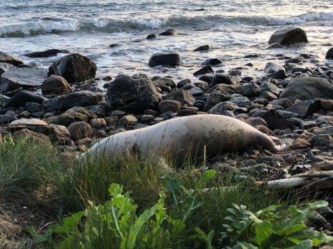 DØD: Denne selen ble skylt i land og funnet død på Reiertangen på Jeløya.