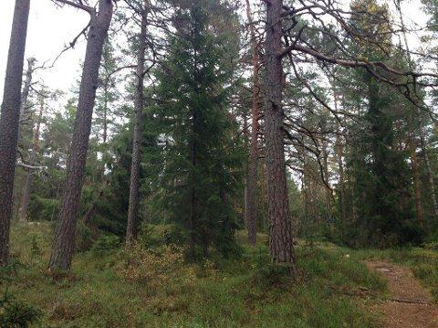 VERNES: Området representerer en sjelden type natur i form av lavereliggende og høyproduktiv eldre barskog som er relativt lite påvirket, heter det i forskriften om vern av Ødemørk naturreservat.