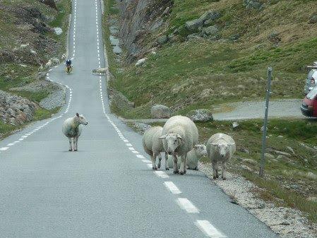 Sau i veibanen er et kjent syn på bilferie i Norge. Hver sommer opplever bønder at bilførere ikke melder fra om dyrepåkjørsler