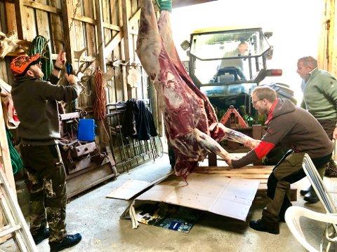 SOLID SKROTT: Her er jaktkameratene i ferd med å henge elgoksen opp i kjetting.