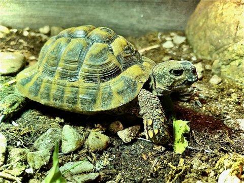 Luna, en elleve år gammel gresk landskilpadde, har stukket av fra hjemmet sitt på Tiller lørdag ettermiddag. Nå håper eier Kristin Stapnes at han blir funnet i god behold.