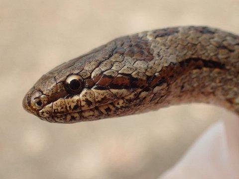 Slettsnok har en tydelig mørk stripe gjennom øyet, og rund pupill.