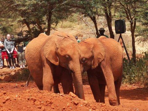 Nairobi er fult av såkalte dyre-barnehjem, her er to foreldreløse elefanter som finner lykken i hverandre.
