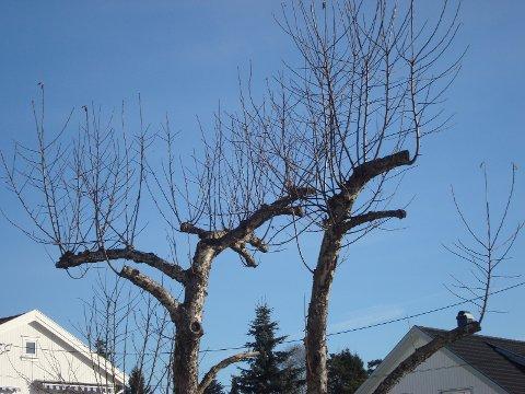 """Bilde 1: Pass på at du ikke tar for mye når du beskjærer, da kompenserer treet med å skyte massevis av """"pisker"""" opp i lufta."""