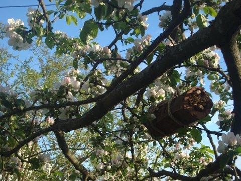 Bilde 2: Sånn skal et frukttre blomstre!