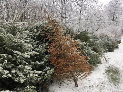 INNSAMLING: Innen lørdag må du ha båret ut og satt juletreet ut for at kommunen skal ta det med for deg, hvis ikke kan du dra til Grønmo eller Ryen og levere det.
