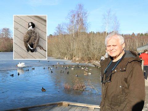 Finn A. Gulbrandsen frykter fugleinfluensa ved Østensjøvannet, da tre gjess har dødd i løpet av kort tid.