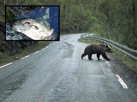 DREPT: Sauen (innfelt) har merke etter bjørnens bitt over snuten. NB: Bjørnen på bildet er fra da en bjørn ble observert i Bardu for noen år tilbake og er ikke nødvendigvis samme bjørn som det nå jaktes på.