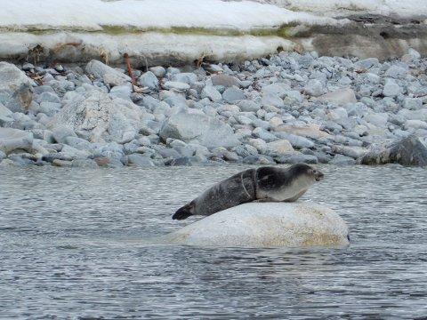 HAVSØPPEL: Søppel er et stadig økende problem i havet - også utenfor Svalbard. Sysselmannen traff på denne selen i Hamburgbukta på Spitsbergen tidligere i sommer.