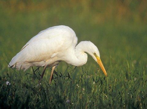 EGRETTHEGRE: Fuglen Helge Benonisen så var antagelig en slik.