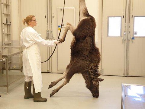 STORE DYR: Mandag fikk veterinær og forsker Ingebjørg Nymo inn en elg til obduksjon ved Veterinærinstituttets avdeling på Stakkevollveien i Tromsø. Fortsatt er det uklart hvordan obduksjonskapasiteten blir framover.