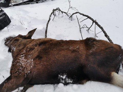 AVLIVET: Viltnemnda i Målselv rykket lørdag formiddag ut til en skadet elgku. Dyrets liv sto ikke til å redde.