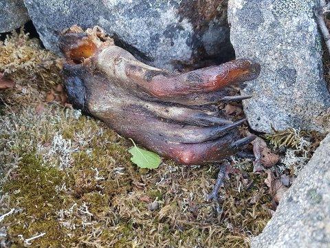 MYSTISKE KLØR: Mandag kom Lars Steve Bartholdsen over disse beinrestene på Strytind på Senja.