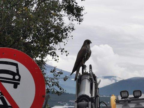 PÅ GRAVEMASKINEN: Jaktfalken satte seg ned på gravemaskinen og fotografen fikk gode bilder av den staselige fuglen. Foto: Morten Andersen