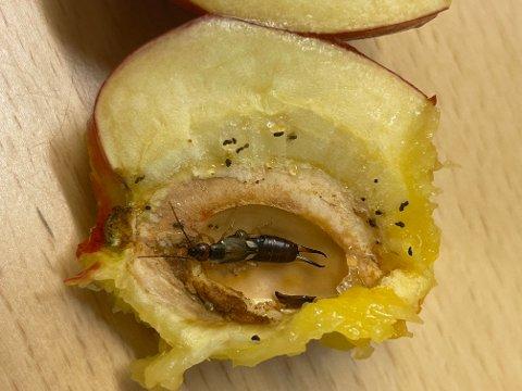 LEVENDE: Denne krabaten kravlet rundt inne i nektarinen. Den har også lagt flere egg, som Stian Jakobsen antakelig har fått i seg.