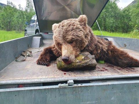 FELT: Bjørnen som ble felt mandag kveld var en 5,5 år gammel binne på 84 kilo. Denne bjørnen har tidligere vært registrert i området, men det er ikke binna man i fjor ønsket å flytte fra området.
