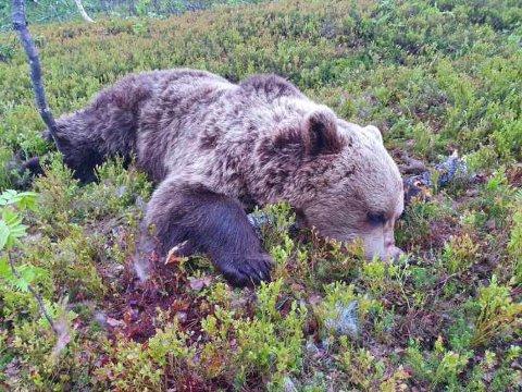 FELT: Jakta i Bardu er nå avsluttet etter at den andre bjørnen det ble gitt fellingstillatelse på, ble skutt onsdag kveld. Det er en hannbjørn som veier 90 kr.