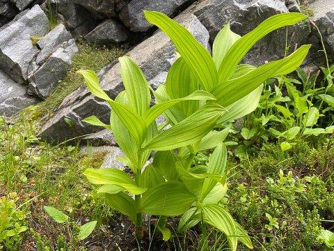 I HAGEN: I en hage i Hammerfest finner vi den dødelige urten Nyserot.