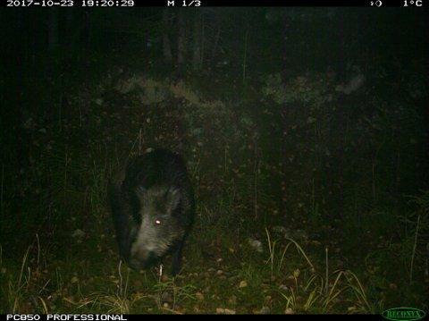 Villsvinet er fanget opp av et viltkamera.