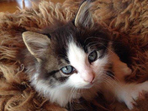 KATT: 20 prosent av norske husstander har katt.