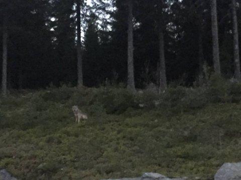 I noen sekunder stoppet ulven opp i skråningen, da fikk Kay Robin Kristiansen knipset et bilde.